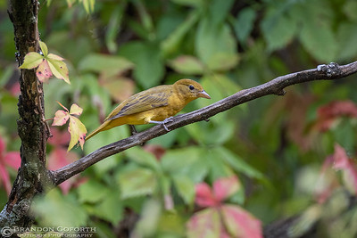 Summer Tanager 2 (female)