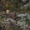 Grouse, Spray Lakes Provincial Park