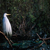 Great Egret in breeding plumage, Everglades, FL