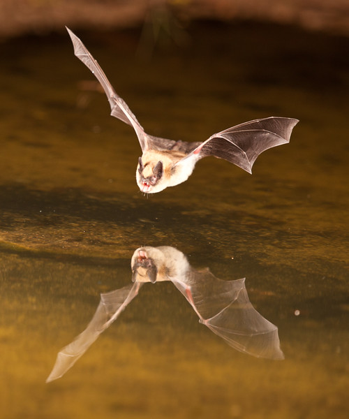 Small Brown Bat getting a drink from a pond, April 2013.  An individual bat can consume up to 1,200 mosquito sized insects per hour.