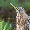 American Bittern at Pitt Lake, BC, Canada. Photo by: Stephen Hindley ©