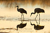 Sandhill cranes, reflected in ice.