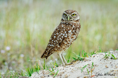 Burrowing Owl. Athene cunicular. At borrow on Marco Island, Florida. JPat_170303__D3S3116