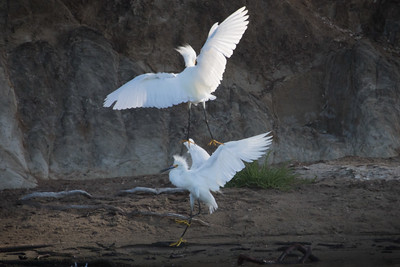 Snowy Egrets Spring 2018-4