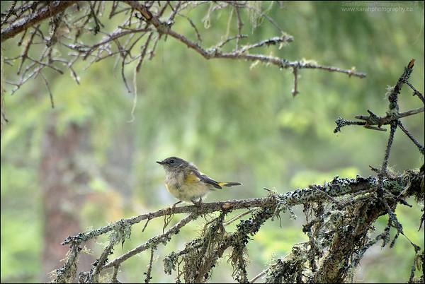 Myrtle Warbler  (immature) Dendroica coronata coronata
