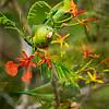 Panama Parakeet