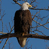 Bald Eagle Waterloo, Al 2010