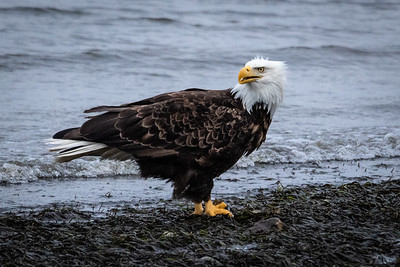 Bald Eagle - Bainbridge Island