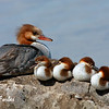 Precariously balanced<br /> Common Merganser with chicks, Mackinac Island, Michigan.  The chicks kept falling off and having to climb back up!