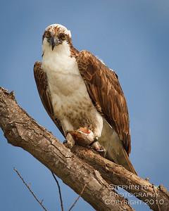 Osprey, San Joaquin Wildlife Reserve