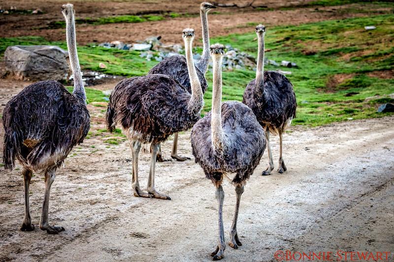 Ostriche Herd