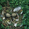 I found this beautiful herring gull nest on a small island in Maritime Canada.  What a magnificent image.