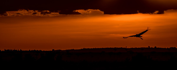 Maribou stork at sunset. Masai Mara safari with Mel, Lily and Chelsey.  Mara Engai Tented camp in The Mara Triangle.  October 30 to November 2nd, 2017.  Photo by: Stephen Hindley ©