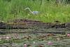 Image #2038<br /> Grey Heron ~ Reinstein Woods Preserve, Western N.Y.
