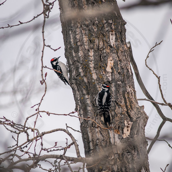 Competing Male Hairy Woodpeckers, Calgary