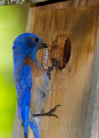 Male Western Bluebird delivering the goods