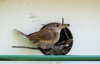A House Wren With Dinner