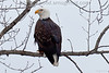 Bald Eagle along Bull River, Montana