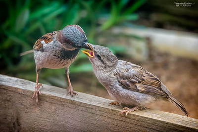 Sparrows in the backyard