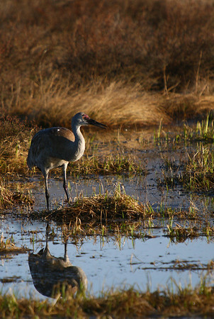 A sandhill crane is reflected in a small pond