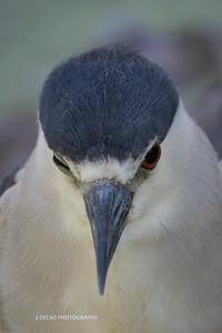 Black-crowned Night-Heron-7564