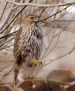 Juvenile Cooper's Hawk.