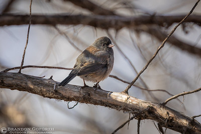 Dark-eyed Junco II