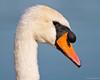 Mute Swan, Hyde Park, London