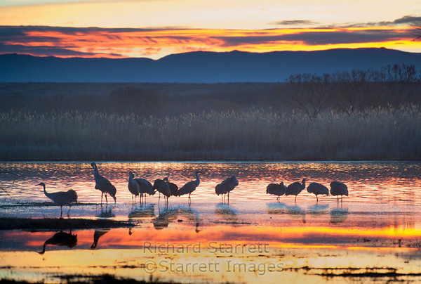 Sandhill Cranes greeting the morning sun.