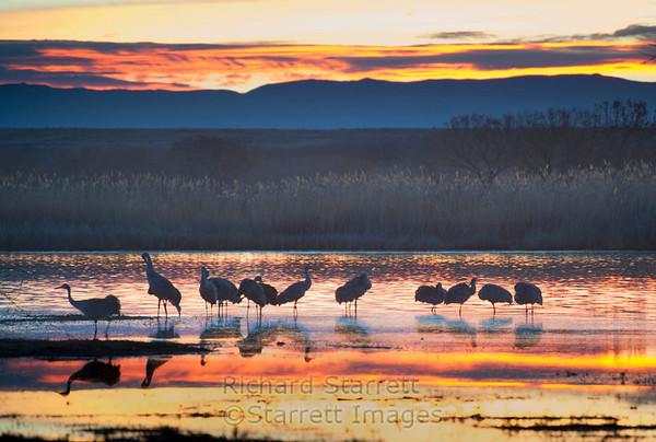 Sandhill Cranes greeting the morning sun.