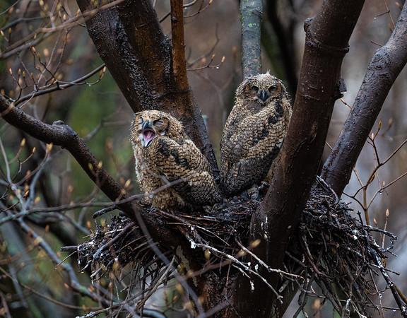 Rain Soaked Owlets