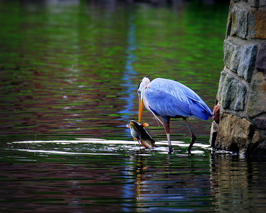 """Heron and Catfish"""