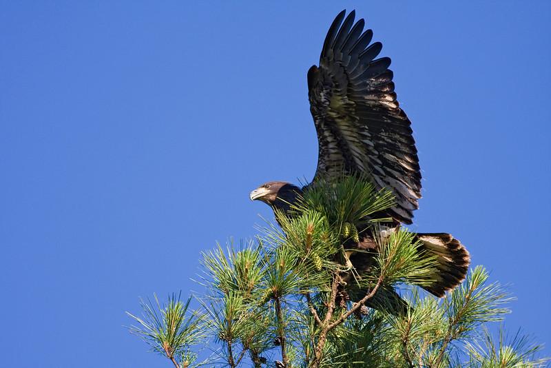 Shiloh Eaglet crash landing in top of nest tree on 2nd flight 2009.