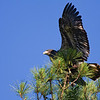 Shiloh Eaglet crash landing in top of nest tree on 2nd flight 2009.