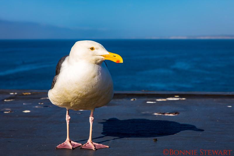 Friendly Seagull