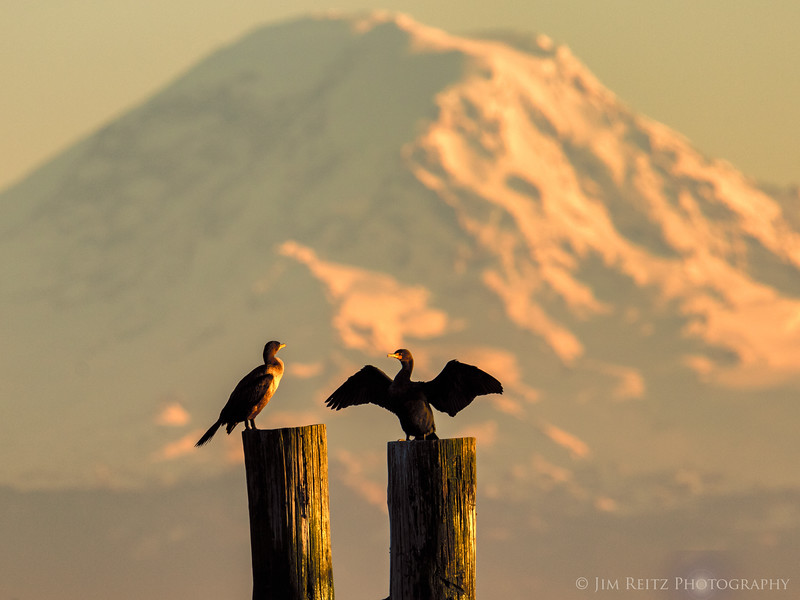 Cormorants and Mount Rainier at sunset, 500mm telephoto zoom.