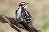 Image #8749<br /> Male Downy Woodpecker<br /> Western N. Y.