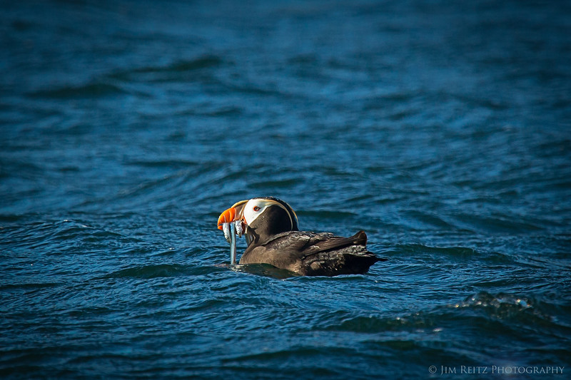 Puffin - Protection Island, WA
