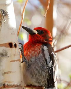 Red Headed Woodpecker - Convict Lake, CA