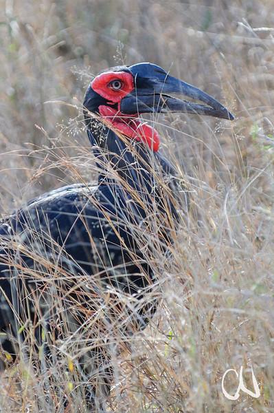 Southern Ground Hornbill, Bucorvus leadbeateri, Südlicher Hornrabe, Krüger National Park, South Africa, Südafrika, Kruger National Park, Krüger Nationalpark, Südafrika, South Africa