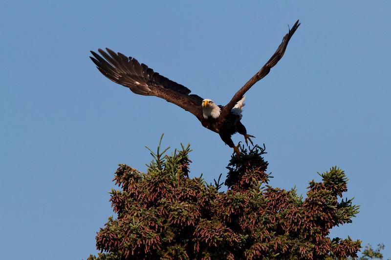 Bald eagle ready to take flight