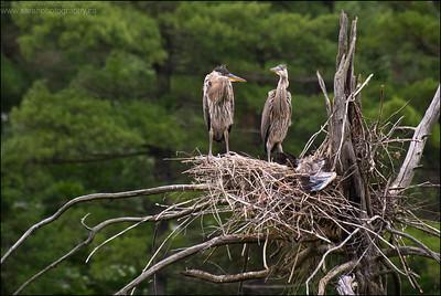 Great Blue Heron chicks Ardea herodias