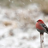 Pine grosbeak in november