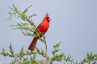 Northern Cardinal 4 (male)