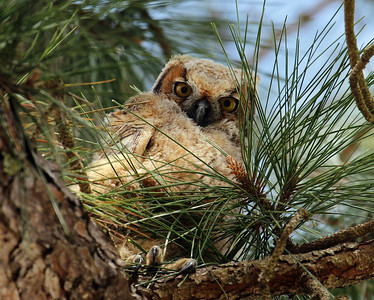 """Great Horned Owl Fledgling"""