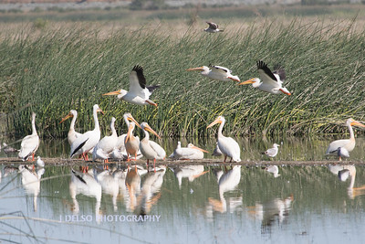 White Pelicans and friends-7615