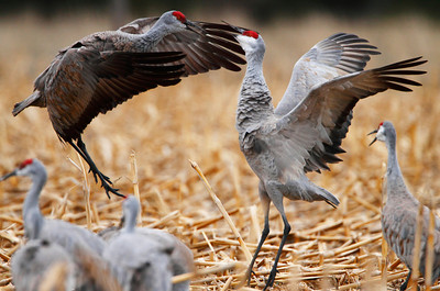 Two sandhill cranes fight over...whatever it is that sandhill cranes fight about