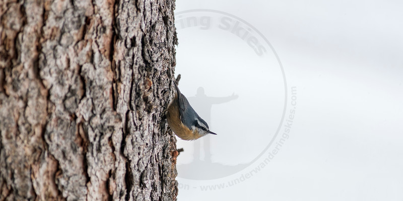 Red Breasted Nut Hatch, Banff National Park