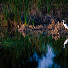Great Egret, Everglades