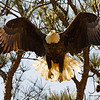 Eagle takeoff Shiloh 2010